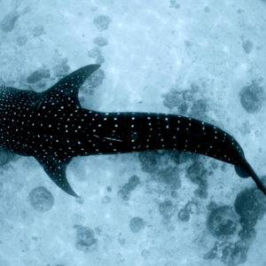 See the Whaleshark in Oslob